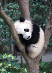 Cute baby panda sleeping on the tree exterior