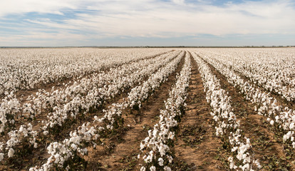 Cotton Boll Farm Field Texas Plantation Agriculture Cash Crop