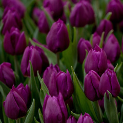 beautiful purple closed tulips in a field or on a lawn