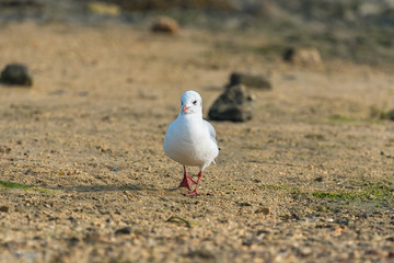 Gull walking in front on the shore at low tide
