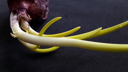 Cipolla germinata