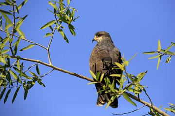 Snail Kite in Profile, on a Branch. Rio Claro, Pantanal, Brazil