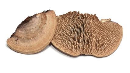 Daedalea quercina fungus