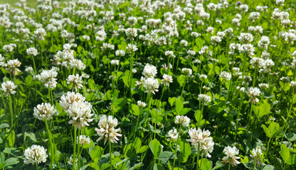 Beautiful white clover on a summer meadow