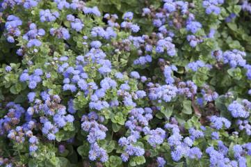 Blue small florets