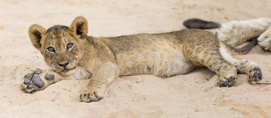 Small lion cub lay down to rest on soft Kalahari sand