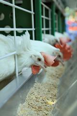 White chickens