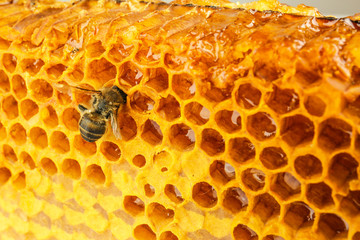 Bee on honeycomb, close up