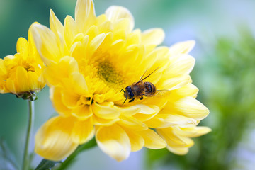 Honeybee collecting nectar from flower