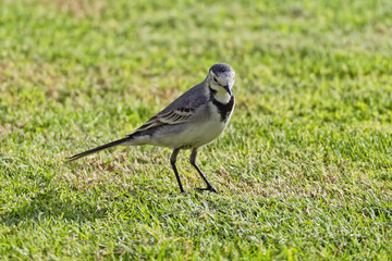 White Wagtail on a lawn