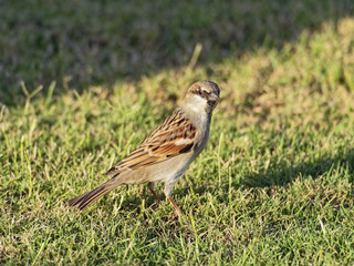 Close up of an Egyptian sparrow standing on a lawn
