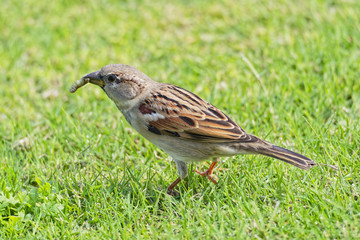 Egyptian sparrow standing in short grass holding a grub in its beak