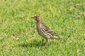 Close up of a Tree Pipit standing in short grass
