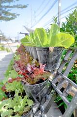 green cos lettuce and red oak lettuce