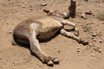 An adult donkey is lying on the ground because of the exreme heat in summer in Crete Island, Greece.