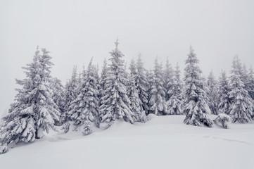 snow-cowered fir trees