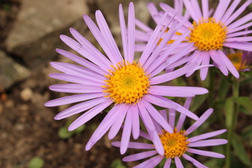 """Purple-blue """"Farrer's Aster"""" flower with orange disc in St. Gallen, Switzerland. Its Latin name is Aster Farreri (Syn Erigeron Farreri), native to western China and Tibet."""
