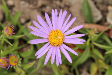 "Purple-blue ""Farrer's Aster"" flower with orange disc in St. Gallen, Switzerland. Its Latin name is Aster Farreri (Syn Erigeron Farreri), native to western China and Tibet."