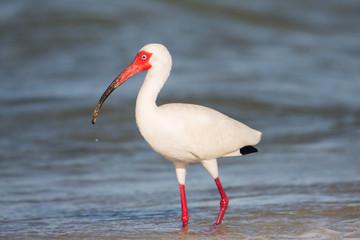 American white ibis walking on the seashore (Eudocimus albus), Florida, United states