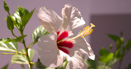 Hibiscus. White flower in the garden. Detail of the stamen and pistil.
