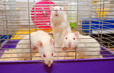 Three curious laboratory rats looking out of a cage in a laboratory