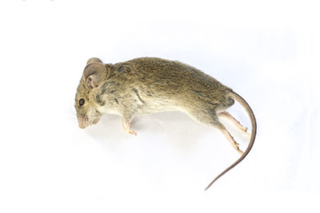 Close up dead rat isolated on a white background.