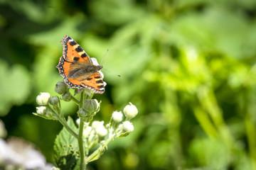 Tortoiseshell butterfly sitting on a white flower