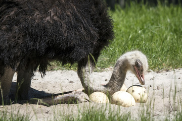 African ostrich protecting her eggs