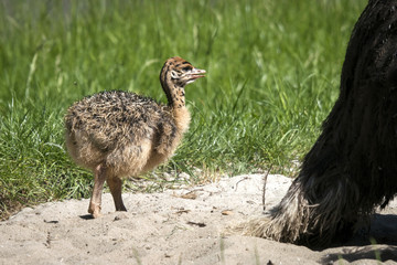 Ostrich youngster in a sand dune