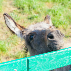 Small funny donkey portrait looking out fence