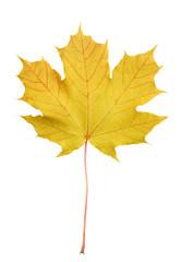Beautiful bright yellow maple tree leaf isolated on white background. Maple tree leaf close up.
