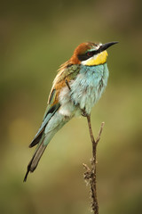 European bee-eaters sitting on the branch