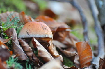 Mushroom between leaves on forest soil. Brown mushroom in nature