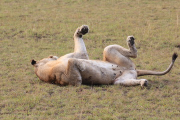 Lion Queen Elizabeth Nationalpark Uganda