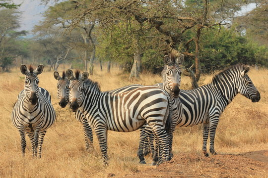 Zebra Lake Mburo Nationalpark Uganda