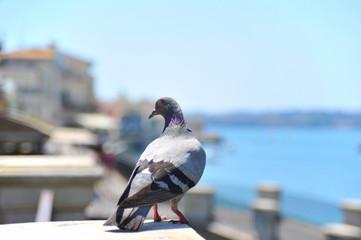 Taube (Columba livia domestica) auf der Hafenmauer der historischen Altstadt von Syrakus (Syracusa) im Süden von Sizilien, Italien