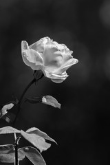 Rose - black and white
