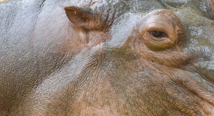 hippo close up. Ear, eye and skin.