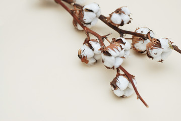 Cotton Dry Flower Branch Close Up on Light Ivory Background with Text Space