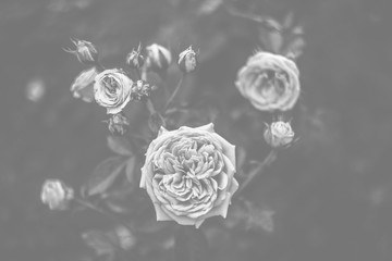 Flowers in black and white. Roses grew in the garden in the summer
