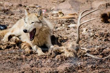 Wolf Sanctuary Colorado White Wolfs