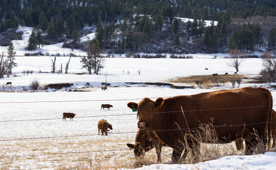A Cow Chewing Grass in a snowy pasture. Pine trees are in the background.