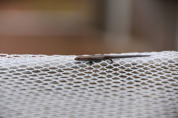 Skink  on Netting