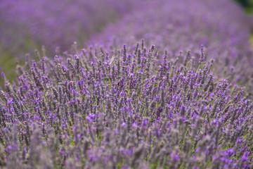 Lavender field, UK.