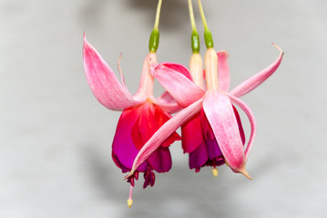Fuchsia sp multi color flower in Guatemala.