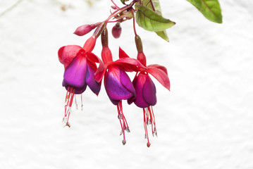 Fuchsia sp multi color flower in Guatemala.
