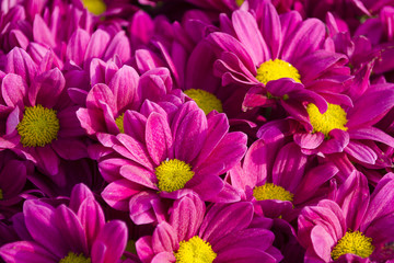 close up of pink chrysanthemums flowers