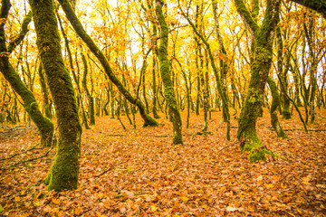 forest in autumn colors woods trunks of oak tree for background