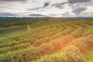 High hill green tea plantation skyline, natural landscape background