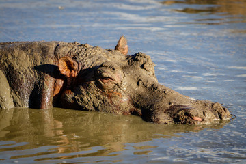 A lazy hippo taking a mud bath and enjoying the sunset in Murchison Falls nation park in Uganda. Unbelievable that the government is going to drill for oil here.